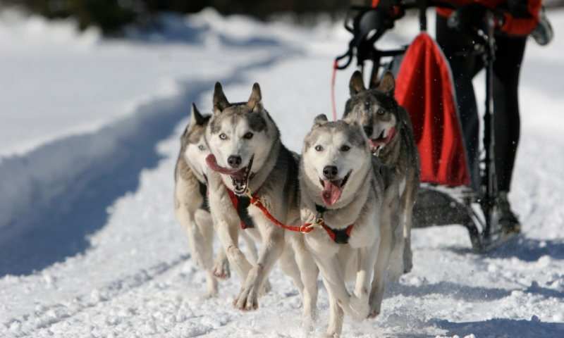 Dog Sled Sledding